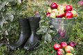 Morning organic apple orchard harvest concept. Royalty Free Stock Photo