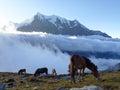 Morning pasture in Himalayas Royalty Free Stock Photo