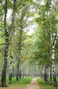 Morning pathway in fog autumn birch park september Royalty Free Stock Photos