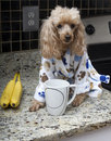 Morning routine a poodle in a bathrobe has her coffee in the kitchen Royalty Free Stock Photo