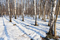 Morning in spring birch forest Royalty Free Stock Photo