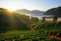 Morning strawberry farm chiangmai province thailand doi angkhang Stock Image