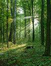 Morning sun beams in the summer forest Royalty Free Stock Photo