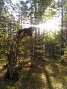 The morning sun shines on a crooked birch tree in the autumn forest