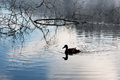 Morning in the swamp, marsh. Duck swimming, early morning Royalty Free Stock Photo