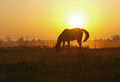 Morning on to the meadow a horse grazes a background an ascending sun Royalty Free Stock Photo