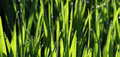 Morning waterdrops on a grass picture of Royalty Free Stock Image