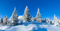 Morning winter mountain landscape carpathian ukraine with snowy fir trees on slope Stock Photos