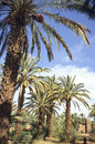 Moroccan palm grove Stock Images