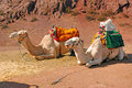 Morocco, Marrakech: Camels Stock Photography