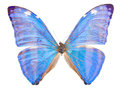 morpho adonis blue butterfly Royalty Free Stock Photo
