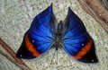Morpho Butterfly Royalty Free Stock Photos