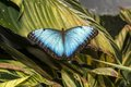 Morpho butterfly peleides blue common or the emperor peleides is an iridescent tropical found in mexico central Stock Photo