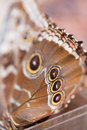 Morpho butterfly on reed detail of a in costa rica Royalty Free Stock Photos