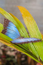 Morpho Menelaus butterflyMorpho Menelaus Butterfly, Tropical Rainforest Royalty Free Stock Photo