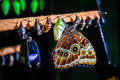 Morpho peleides butterfly and chrysalis Royalty Free Stock Photo