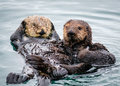 Morro Bay Sea Otters, California