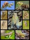 Mosaic photos cicadas Royalty Free Stock Photo