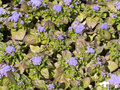 Mosaic of small lilac flowers on garden bed Royalty Free Stock Images