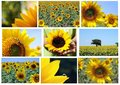 Mosaic   sunflowers Stock Photo