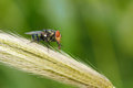 Mosca di greenbottle Immagine Stock