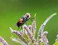 Mosca Red-eyed Fotografie Stock
