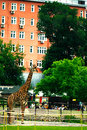 Moscow, RUSSIA - JUNE 21: Giraffe at the zoo in the open air on June 21, 2014 Royalty Free Stock Photo
