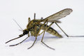 Mosquito extreme close up of culex Stock Images