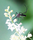 Mosquito and flower Royalty Free Stock Images