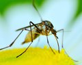 Mosquito a perched on a flower feeding Royalty Free Stock Image