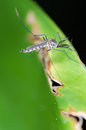 Mosquito resting on green leaf Royalty Free Stock Image