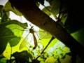 Mosquito in the shadow large marsh walnut tree Stock Photo