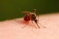 Mosquito Royalty Free Stock Photo