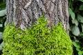 Moss on bark of tree Royalty Free Stock Photo
