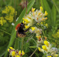 Moss carder bee bombus muscorum on kidney vetch anthyllis vulneraria Royalty Free Stock Images
