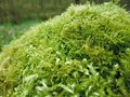 Moss closeup detail of a overgrown tree trunk Royalty Free Stock Photography