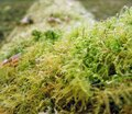 Moss closeup detail of a overgrown tree trunk Royalty Free Stock Image