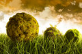 Moss covered balls laying in tall grass Stock Photos