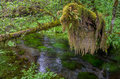 Moss covered branch olympic national park next to river in Stock Images