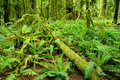 Moss covered rain forest Stock Photography