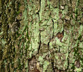 Moss covered tree bark for background Royalty Free Stock Photo