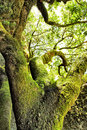 Moss covered tree at el hierro island canaries Royalty Free Stock Photography