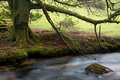 Moss covered tree on the River Fowey Royalty Free Stock Photo