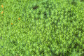 Moss Detail In The High Fens, Belgium Royalty Free Stock Photo