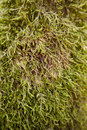 Moss green on a tree trunk the picture was taken in a forest during spring time Royalty Free Stock Photo