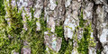 Moss growing on bark of tree trunk Royalty Free Stock Photo