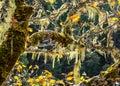 Moss Hanging From Oak Tree Bra...