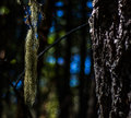Moss hanging from a tree Royalty Free Stock Photo