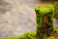 Moss and lichens over an old pine standing next to a river in the woods Stock Photos