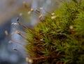 Moss macro Fotos de archivo